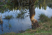 A pine tree at lakes edge, has seen the hard work of a beaver. Moose creek Reservoir, Idaho, USA PLEASE CONTACT US FOR DIGITAL DOWNLOAD AND PRICING.