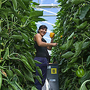 September 2009 20090901 ..Een poolse arbeider plukt paprika's in kas. .A polish woman worker at work in greenhouse, immigration.                               ..Foto: David Rozing