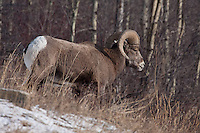 One of my favorite big animals of the Rocky Mountains is the Bighorn Sheep.  I took a drive west of Calgary along a route that I had never taken before and was lucky to find two large herds of sheep near Exsahw, Alberta.<br /> <br /> &copy;2009, Sean Phillips<br /> http://www.Sean-Phillips.com
