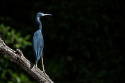 Little Blue Heron (Egretta caerulea)<br /> Mahaica River<br /> GUYANA<br /> South America