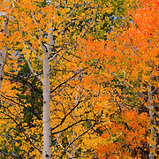 Idaho, Blaine County, fall aspen at Alturas Lake, Sawtooth National Recreation Area