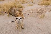 Meerkat or Suricate (Suricata suricatta) Burrow<br /> Makgadikgadi Pans, Kalahari Desert<br /> Northeast BOTSWANA<br /> HABITAT & RANGE: Kalahari Desert in Botswana, Namib Desert of Namibia, Angola and South Africa