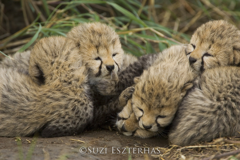 Cheetah<br /> Acinonyx jubatus<br /> 9 day old cubs curled up together in nest<br /> Maasai Mara Reserve, Kenya
