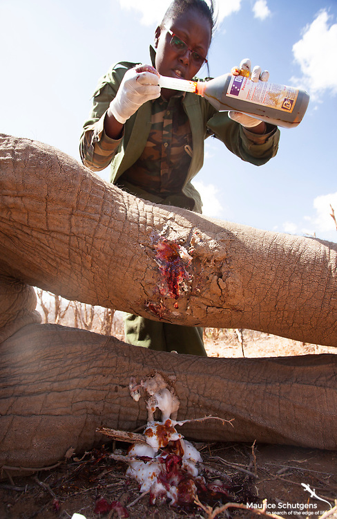 A KWS vet cleans a gunshot wound suffered by young bull elephant on Loisaba Conservancy.