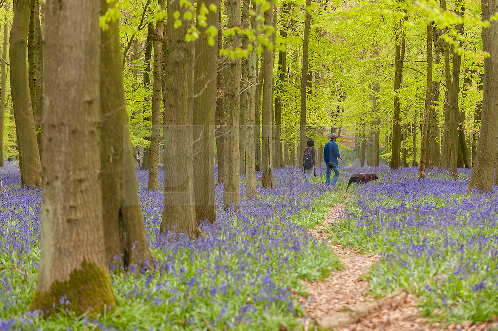 © Licensed to London News Pictures. 01/05/2015. Ringshall, Hertfordshire, UK. A couple walks through admiring the bluebells. Just in time for the early May bank holiday, the bluebells are nearly in full bloom in Dockey Wood, part of the Ashridge Estate. This wood is renowned for its carpet of bluebells every spring and is regarded as one of the finest examples in the country. Photo credit : Stephen Chung/LNP