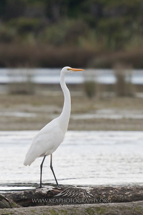 White Heron at Okarito Lagoon, West Coast, New Zealand