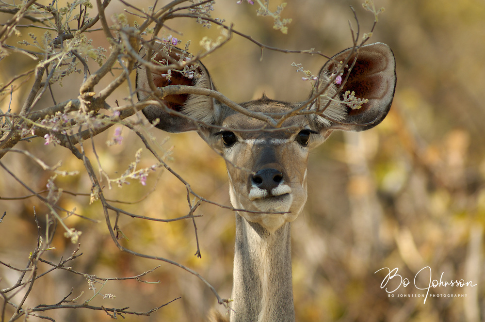 Greater kudu (Tragelaphus strepsiceros) browsing.<br /> Moremi Wildlife Reserve, Botswana.<br /> September 2007.