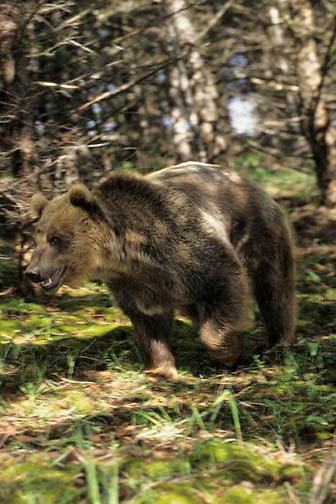Grizzly Bear, (Ursus horribilis) Running through timber. Rocky mountains Montana. Captive Animal.