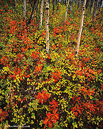 Red osier dogwood in autumn quaking aspen grove in Glacier National Park in Montana