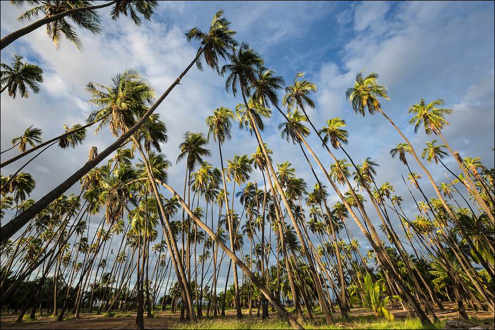 The Kapuaiwa Coconut Grove on Molokai, an ancient coconut grove planted in the 1860's under the reign of King Kamehameha V.  9/28/15