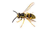 Eastern Yellowjacket (Vespula maculifrons) - female worker<br /> United States: Alabama: Tuscaloosa Co.<br /> Tulip Tree Springs off Echola Rd.; Elrod<br /> 30-Jun-2016<br /> J.C. Abbott #2841