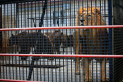 ROMANIA ONESTI 26OCT12 -  Eurasian brown bears and a lion in captivity at the Onesti zoo.  ..The zoo has been shut down due to non-adherence with EU regulations on the welfare of animals.......jre/Photo by Jiri Rezac / WSPA......© Jiri Rezac 2012