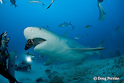 Jorge Loria or Chino of Phantom Divers feeds a bull shark, Carcharhinus leucas, female in seasonal breeding aggregation, Playa del Carmen, Cancun, Quintana Roo, Yucatan Peninsula, Mexico ( Caribbean Sea )