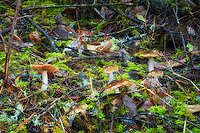 """These """"slimy-capped"""" mushrooms are a very common late fall mushroom found along the Pacific coast from Northern California to Southern British Columbia. This group was photographed among the trees on Washington's Cape Flattery."""