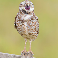 Burrowing owl (Athene cunicularia) appears to belt out a tune while yawning enthusiatically. Photographed in Cape Coral, southwest Florida. Image placed as semifinalist in NANPA 2018 Showcase.