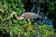 The tricolored heron (Egretta tricolor), formerly known in North America as the Louisiana heron, is a small heron. It is a resident breeder from the Gulf states of the United States and northern Mexico south through Central America and the Caribbean to central Brazil and Peru.
