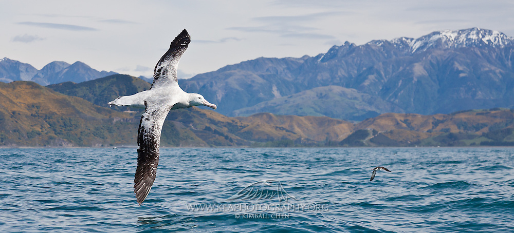 55x25cm print of a Wandering Albatross spreading its wings against the backdrop of the coastal mountains Kaikoura, New Zealand.