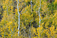 Bright golden aspens shine in the late afternoon sun in Utah's Little Cottonwood Canyon.