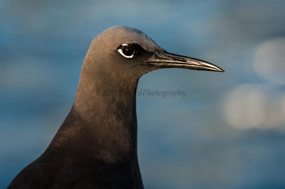 Brown Noddy (Anous stolidus)<br /> Puerto Ayora, Santa Cruz Island<br /> GALAPAGOS ISLANDS<br /> ECUADOR.  South America