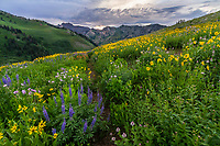 Hills covered in wildflowers during the Summer wildflower bloom in Utah's Albion Basin atop Little Cottonwood Canyon at sunset.