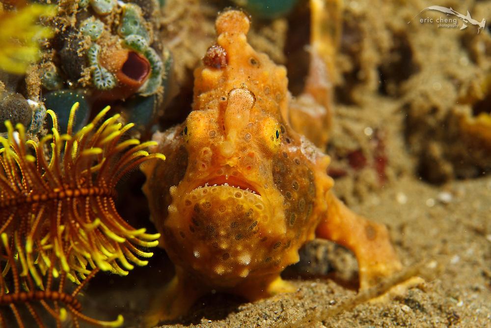 Painted frogfish (Antennarius pictus). Ambon, Maluku, Indonesia.