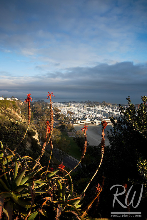 Aloe Vera Flowers with Dana Point Harbor in Background, Dana Point, California