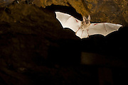 A Townsend's big-eared bat (Corynorhinus townsendii) in an abandoned mercury sulfide mine. Central Oregon.