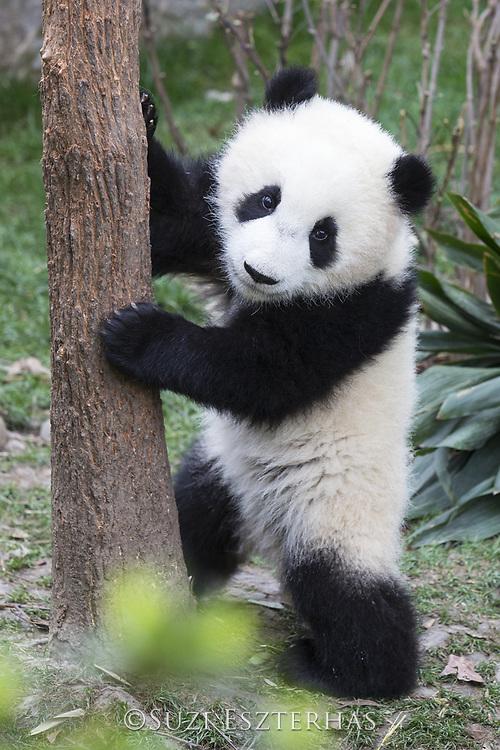 Giant Panda<br /> Ailuropoda melanoleuca<br /> 6-8 month-old cub<br /> Chengdu Research Base of Giant Panda Breeding, Chengdu, China<br /> *captive