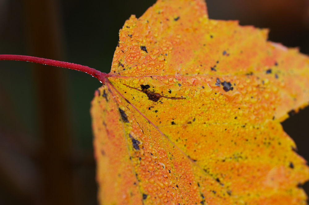 Close-up shot with shallow depth-of-field of New Hampshire autumn maple leaf with droplets of morning mist against a dark background