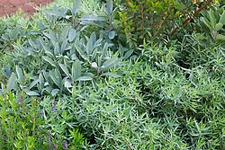 Herb bed. Artemisia dracunculus (French Tarragon), Salvia apiana (white sage), Myrtus (myrtle) and Hyssopus officinalis (hyssop)
