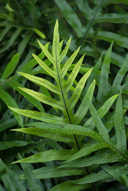 Laua'e fern (Microsorum scolopendria); Liliuokalani Gardens, Hilo, Island of Hawaii.