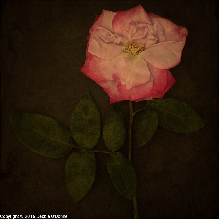 There are over 100 species of the rose, which vary widely in color, shape, and climate preference. A rose's color determines its meaning. Each color of the rose symbolizes certain value. Red rose is a symbol of love, yellow of friendship, orange of enthusiasm, white of purity and pink of joy.
