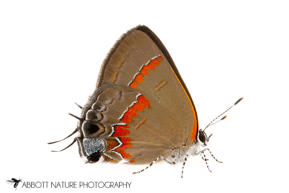 Red-banded Hairstreak - Hodges#4299 (Calycopis cecrops)<br /> United States: Alabama: Tuscaloosa Co.<br /> Tulip Tree Springs off Echola Rd.; Elrod<br /> 28-Jun-2016<br /> J.C. Abbott #2840 &amp; K.K. Abbott