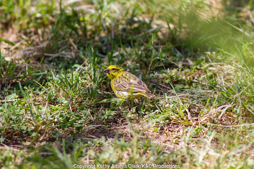 White-bellied canary, Serinus dorsostriatus, Serengeti, Tanzania, Africa.