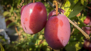 Ripe plums still on the tree ready to be harvested
