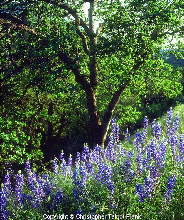 I hiked up a hillside to photograph these blue lupine wildflowers around a lush green tree in the Sierra Nevada Mountains.  This springtime forest setting has vibrant cool colors.