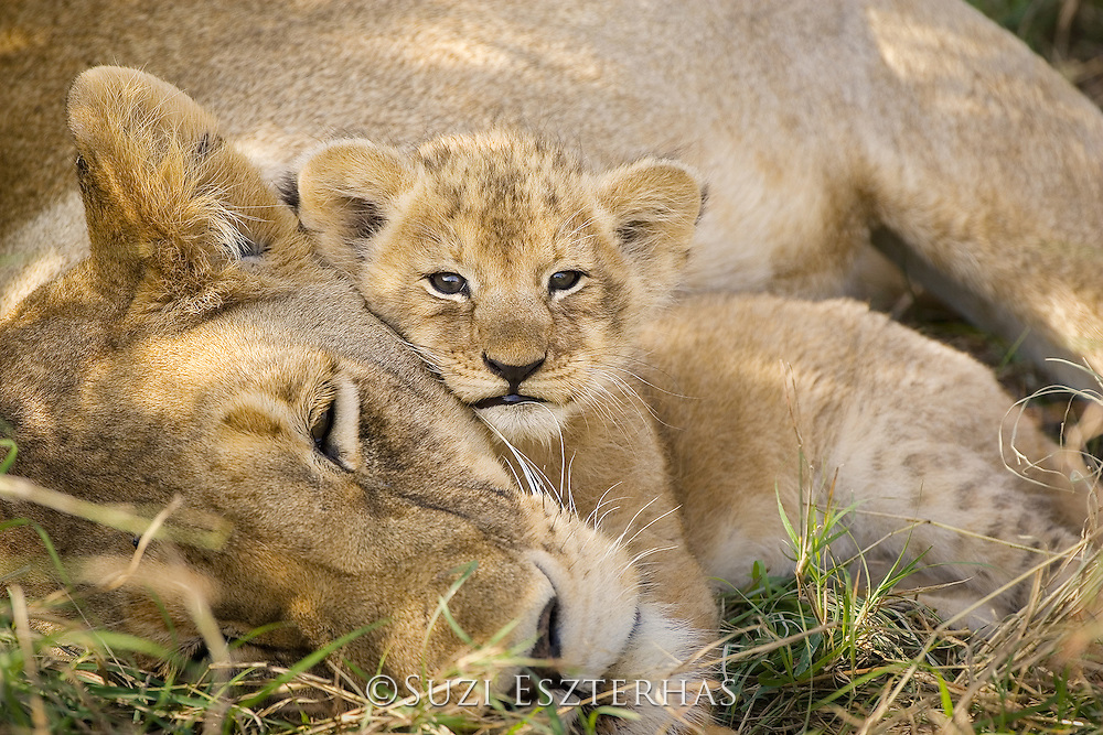 Lion<br /> Panthera leo<br /> Mother and 4 week old cub(s)<br /> Masai Mara Reserve, Kenya