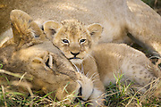 Lion<br /> Panthera leo<br /> Mother and 4 week old cub(s)<br /> Masai Mara Reserve, Kenya