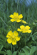 CREEPING CINQUEFOIL Potentilla reptans (Rosaceae) Height to 20cm<br /> Creeping perennial whose trailing stems root at the nodes (unlike Tormentil). Found in grassy places, including verges. FLOWERS are 7-11mm across with 4 yellow petals (Jun-Sep). FRUITS are dry and papery. LEAVES are long-stalked, hairless and divided into 5-7 leaflets.