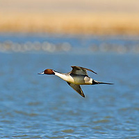 single make northern pintail duck in flight close up