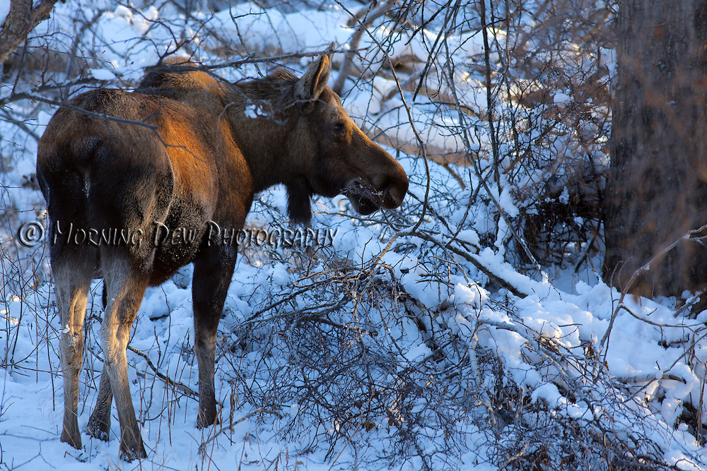 A female moose snacks on branches during a winter day in Anchorage, Alaska