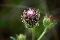 The very pretty flowerbud of the purple thistle about to open in the CREW Marsh Hiking Trails of Collier County, Florida.