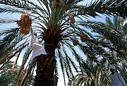 Examining date quality on plantation in oasis town of Najran, SAUDI ARABIA