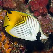 Threadfin Butterflyfish inhabit reefs. Picture taken Fiji.