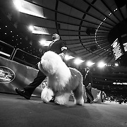 """February 11, 2013 - New York, NY : .Images from the 2013 Westminster Kennel Club Dog Show at Madison Square Garden on Monday evening. """"Swagger,"""" an Old English Sheepdog, lead by Colton Johnson of Colorado Springs, Co., exits the ring after claiming first prize in the herding group on Monday evening. CREDIT: Karsten Moran for The New York Times"""