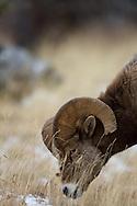 Bighorn Sheep Ram grazing