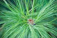 Ponderosa Pine needles in the Fall in Yosemite National Park California USA.