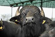 Italie, Carditello, 6-3-2008..Waterbuffels in de regio Napels, in Campania. Van hun melk wordt de beroemde mozzarella kaas gemaakt. De streek kampt echter met grote afval en vervuilingsproblemen. ..Foto: Flip Franssen