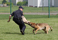 Middletown, NY - A police dog bits the arm of an officer pretending to be a criminal during a demonstration at the YMCA on June 1, 2008.