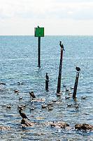 US, Florida, Key Largo. Coast outside Ocean Point Suites, Tavernier. Double-crested Cormorant.